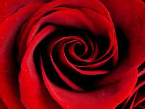rose-closeup-e1361682987179